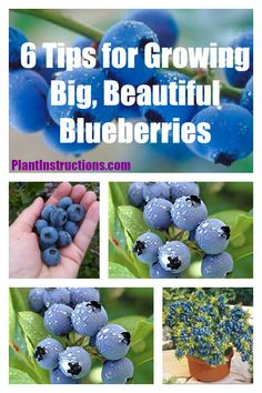 Growing Vegetables Growing Blueberries - These 10 tips for growing blueberries will ensure that your garden is full of delicious and organic blueberries right at your fingertips! Fruit Plants, Fruit Garden, Edible Garden, Fruit Trees, Fruit Bushes, Pot Plants, Herbs Garden, Hydroponic Growing, Hydroponic Gardening