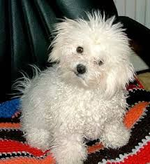Bolognese Puppy - This is my next dog. They are super cute, great companions, and very amiable little friends. Just have to save up a long time! Bolognese Puppies, Bichon Bolognese, Baby Animals, Cute Animals, Super Cute Puppies, Catherine The Great, White Dogs, Little Dogs, Dog Lover Gifts