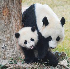 Sweet mama mei and Bao Bao | Flickr - Photo Sharing!
