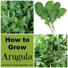 Arugula, also known as Rocket, is from the Brassica family. This plant is a wonderful addition to beginner gardens: they are quite hardy, grow quickly, and need very little care.