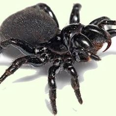 Australian mouse spider
