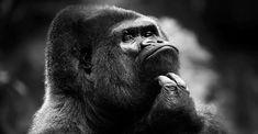 Gorillas – the biggest monkeys