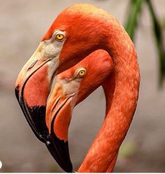 Foto Flamingo, Flamingo Art, Pink Flamingos, Flamingo Pictures, Bird Pictures, All Birds, Love Birds, Pretty Birds, Beautiful Birds