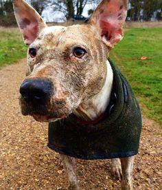 National pup day this is Flea Bastard and destroyer of everfuckinthing !!  #staffylove #englishbullterrier #stafordshirebullterrier #bulldog #bullbreeds