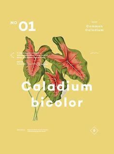 Caladium Bicolor.