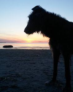 The beach is ours, again. #irishwolfhound #beach #sunset #tallinn #tallinna