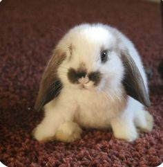 Mini Holland Lop Cute Bunny