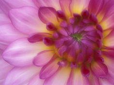 Dahlia, Sammamish, Washington, USA Photographic Print by Darrell Gulin at AllPosters.com