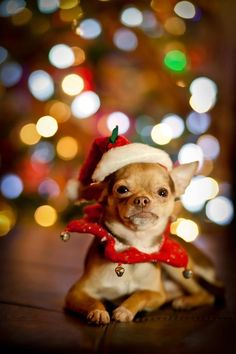 b0ac98861e21 46 Best Dog Christmas Pictures images