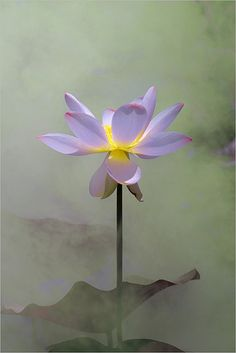 Lotus Flower Surreal Series by Bahman Farzad via Flickr ~ lavender, misty sunset hues