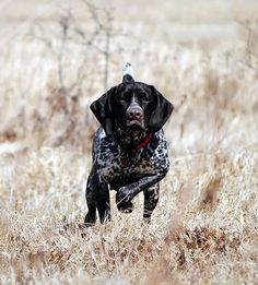 German Shorthaired Pointer. Awesome dog.