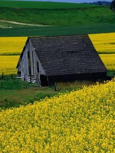Photographic Print: Poster of Barn in Rape Seed Field by Darrell Gulin : 24x18in