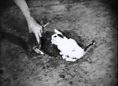 A poor little tabby kitten accidentally gets dunked in a bathtub full of soapy water (Kitty Carnage Warning!) in the Our Gang silent short Circus Fever (1925).