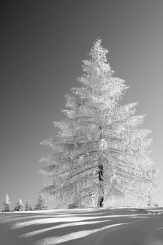 A tree covered in snow. I love winter. Winter Szenen, I Love Winter, Winter Magic, Winter Christmas, Winter White, Snow White, Merry Christmas, Black White, Winter Wonderland