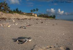 Green Sea Turtle hatch-lings making their dangerous trek to the ocean