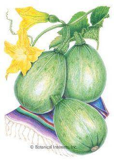 Back to List PreviousNext Squash Summer Tatuma (Calabacita) HEIRLOOM Seeds Cucurbita pepo Item #0239 50 days. This fabulous summer squash ma...