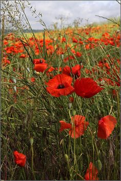 Poppy Field | Flickr - Photo Sharing!
