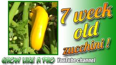 7 Week Old Zucchini Plants - Already lots of zucchinis ! Zucchini Plants, Propagation, Vegetable Garden, Channel, Gardening, Youtube, Home Vegetable Garden, Garten, Vegetable Gardening