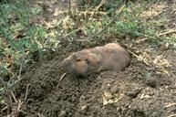 Adult pocket gopher, Thomomys sp. UC Davis info on trapping and controlling gophers.