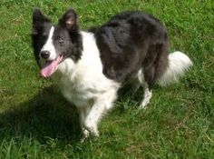 Tyler, the purebred Border Collie Girl is an adoptable Border Collie Dog in Deltona, FL. *TYLER* DOB: 4-11-05 (7yrs old) ~ ABCA Reg. #277998 ~ Female ~ Blue/White Curly Rough Coat. Tyler is from a ret...