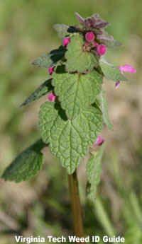 Purple Deadnettle (Lamium purpureum)