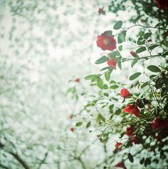 camellia & sakura