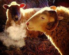 sheep breath