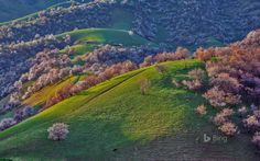 In the Xinjiang Region of northwest China, the green hills bring to mind the Great Smoky Mountains of the United States or the Cumbrian countryside in England. And in spring, the wild red apricot trees burst out in pink blossoms that cover the hillsides.