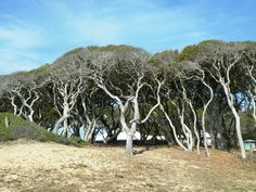 these trees!  /// Fort Fisher