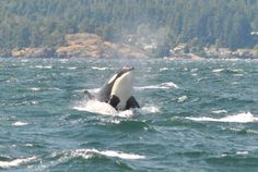 """b3n3aththesurfac3: """"A member of J-pod of the Southern Resident killer whales porpoising near Race Rocks Lighthouse just off of Victoria, British Columbia by Charlotte Gruneau """""""