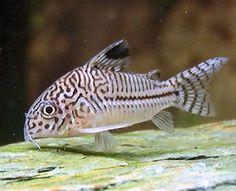 Uno de mis peces favoritos: Corydoras