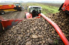 'Extreem weer hindert aardappeloogst'