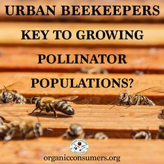 Backyard beekeepers to the rescue! Urban beekeepers may be the best hope for protecting bees from Colony Collapse Disorder and extinction. Raising Bees, Raising Chickens, Drone Bee, Beekeeping For Beginners, Backyard Beekeeping, Backyard Chickens, Save The Bees, Urban Farming, Bees Knees