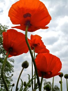 Poppies by Ed Younan on 500px