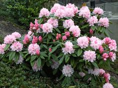 Rhododendron `Christmas Cheer´ WINTERBLÜHEND  | Great Plant Picks