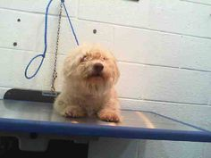 Urgent Dogs of Miami~rescued  LAST CALL! LAST CALL! LAST CALL! MARCO (A1663397) I am a male cream Terrier. The shelter staff think I am about 2 years old. I was found as a stray and I may be available for adoption on 12/08/2014. — hier: Miami Dade County Animal Services. https://www.facebook.com/urgentdogsofmiami/photos/pb.191859757515102.-2207520000.1417560778./882700265097711/?type=3&theater