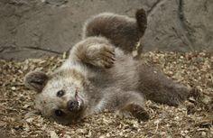 An endangered Syrian brown bear cub frolics in captivity.