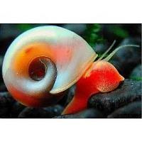 caracol planorbis