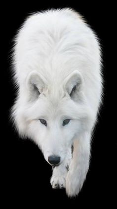 White wolf(Canis lupus arctos). Painting or photograph?