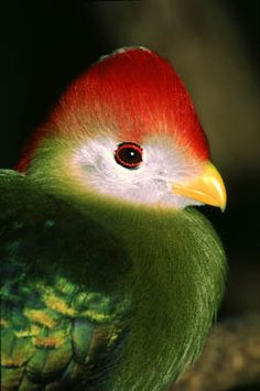 one of the beautiful turacos