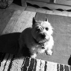 Tazzy cairn terrier black & white