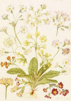 Polyanthus and Primroses botanical print by Maria Sibylla Merian