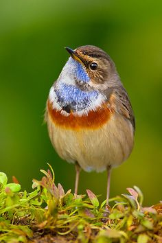 Blue Throat - a small passerine bird that was formerly classed as a member of the thrush family Turdidae, but is now more generally considered to be an Old World flycatcher, Muscicapidae.