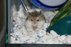 Peanut is looking very scary here! Robo Dwarf Hamsters, Robo Hamster, Hamster Care, Cute Hamsters, Chinchillas, Very Scary, Cute Little Animals, Rodents, Guinea Pigs