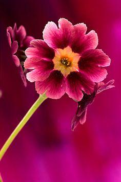 Flowers...Flowers...Flowers...  Auricula