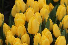 #желтые #тюльпаны #цветы #весна #тверь #100mm #70d #безфильтра #выставка #instalike #tulip #orange #yellow #purple #flowers #macro #photography #Russian #nature #petals #stamen #sea #summer #canon #life #grass #green #instagram