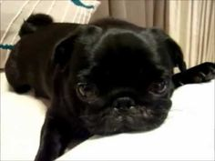 a tiny, angry alien lives inside this pug...Dear Stacy, add this one to the list.
