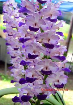 Thai Orchid Rhynchostylis coelestis