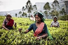 Women picking tea leaves in the hills near Nuwara Eliya, Sri Lanka.