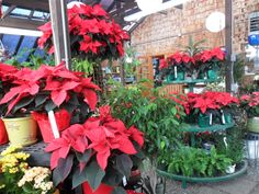 This is the festive houseplant room at Garland Nursery!